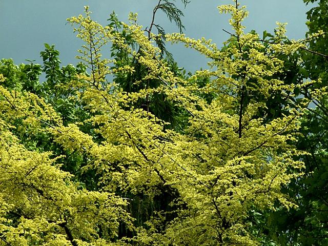 Ulmus parvifolia Geisha  Wikipedia